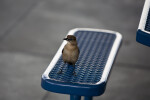 Grackle on Bench