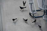 Grackles Around Table