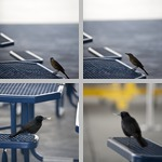 Grackles photographs