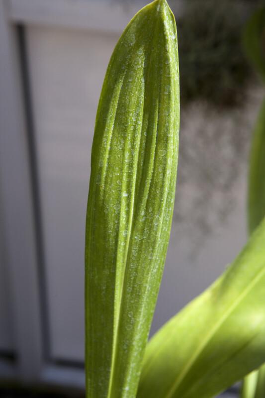 Grammatophyllum Leaf