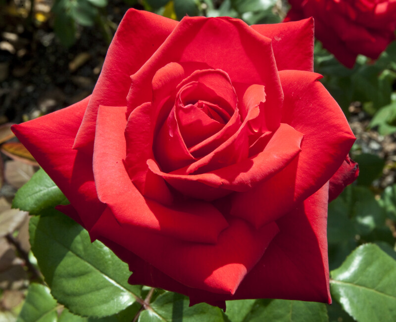 """""""Grande Amore"""" Kordes Rose"""