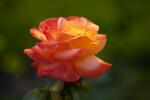 """Grandiflora Rose """"New Year"""""""