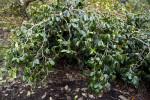 """""""Grandiflora Rosea"""" Japanese Camellia"""