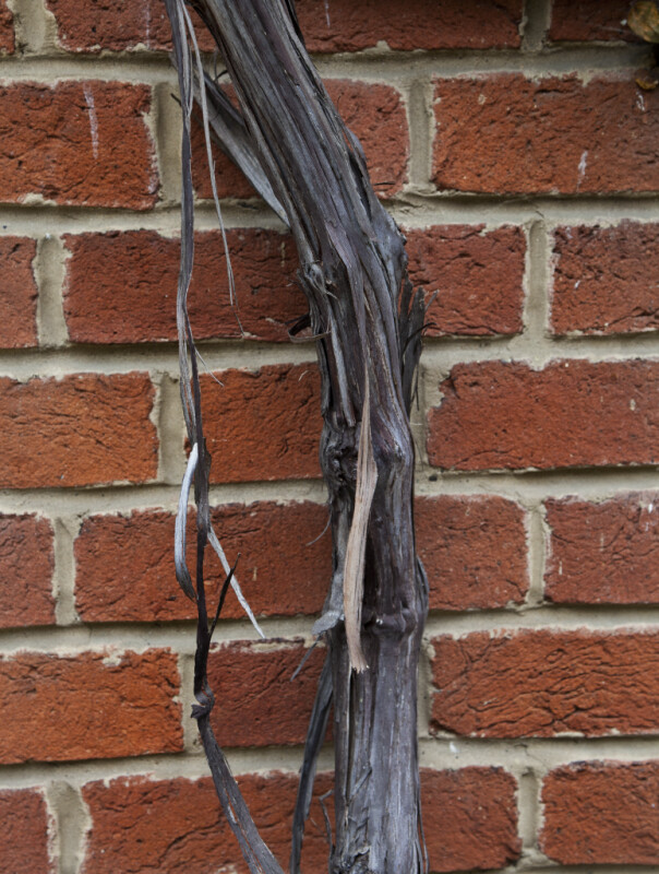 Grape Vine Bark Pictured Against Brick Wall