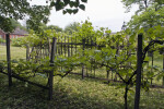 Grape Vines and Broken Wooden Trellis Under Redbud Tree at Old Economy Village