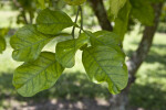 Grapefruit Leaves