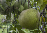 Grapefruit Tree Branches and Unripe Fruit