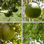 Grapefruit Trees photographs