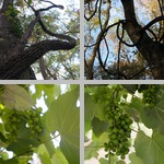 Grapes photographs