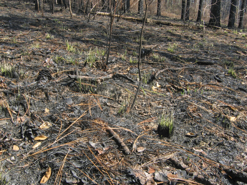 Grass after Fire