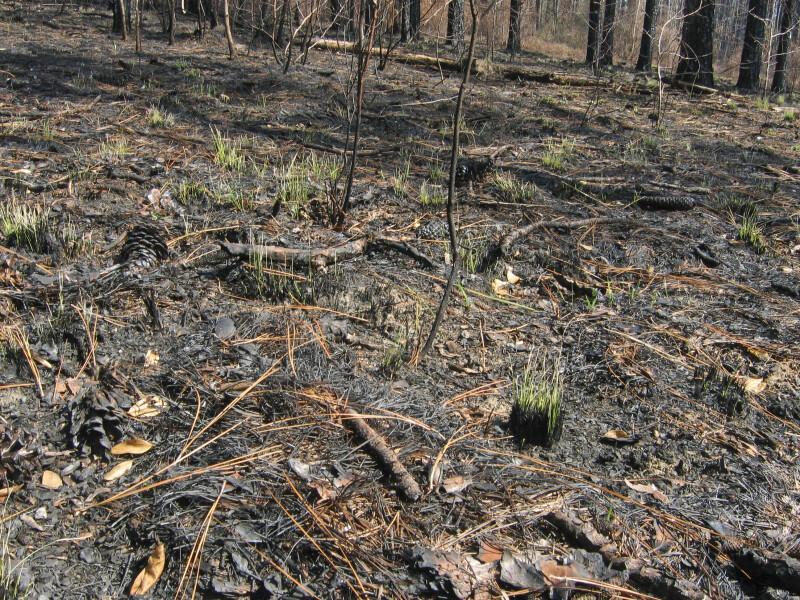 Grass after Fire