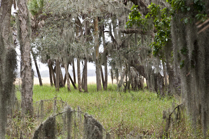 Grass and Trees Covered in Spanish Moss in Front of Lake Myakka