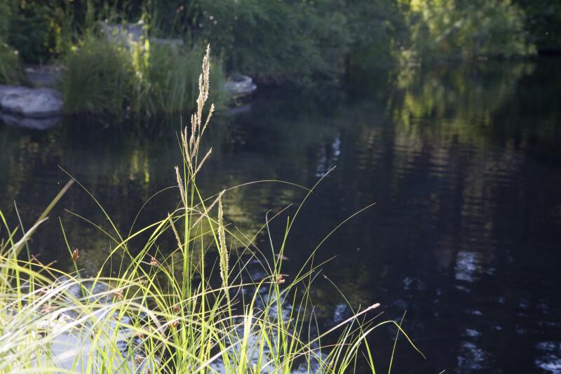 Grass by Pond