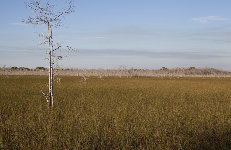 Grass Field with Scattered Dwarf Bald Cypress Trees