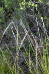 Grass Flowers at the Flamingo Campgrounds of Everglades National Park