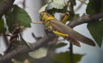 Grasshoppers on Branch