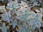 Gray Ghost Plant