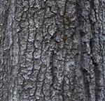 Gray, Scaly Tree Bark
