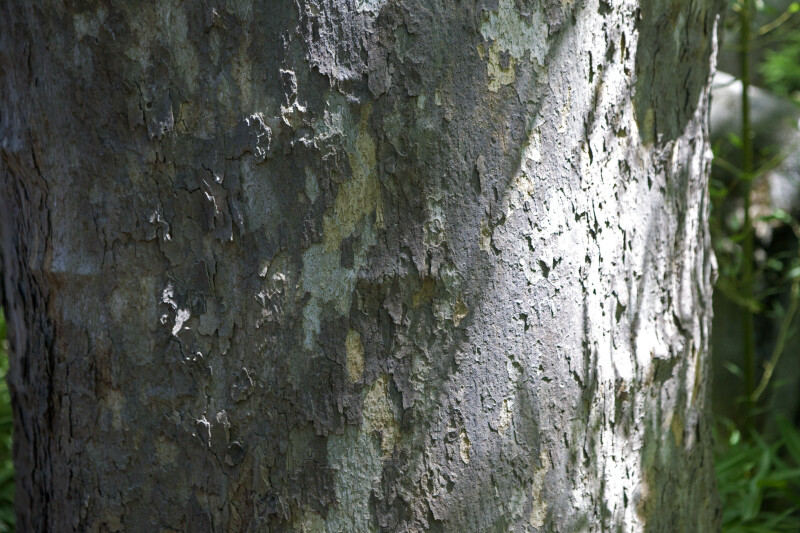 Grayish Bark of a Maple Tree
