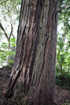 Grayish-Brown Redwood Trunk