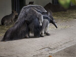 Great Anteater Giving Ride to Offspring
