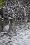 Great Blue Heron and Anhinga