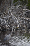 Great Blue Heron and Branches