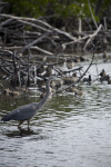 Great Blue Heron and Ducks