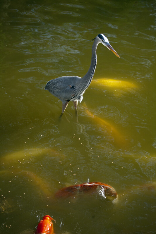 Great Blue Heron and Koi