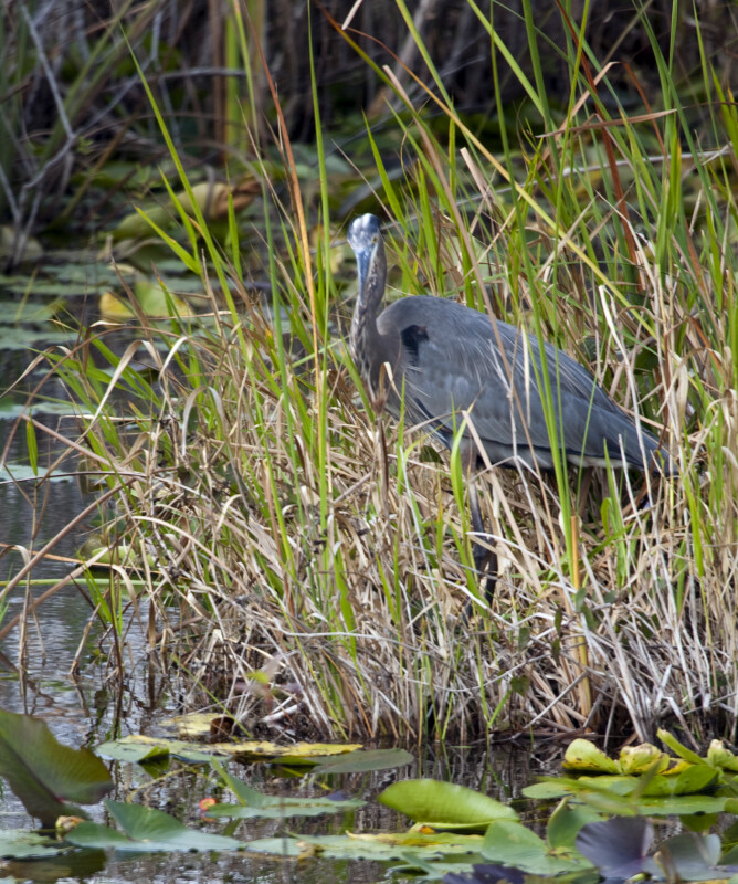 Great Blue Heron at Anhinga Trail