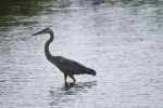 Great Blue Heron at Mrazek Pond