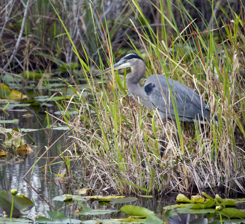 Great Blue Heron at the Edge of the Water