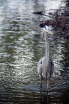 Great Blue Heron by the Shore