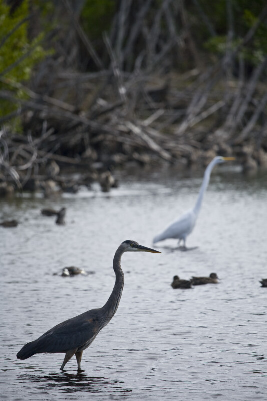 Great Blue Heron, Ducks, and Great Egret