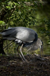 Great Blue Heron Foraging