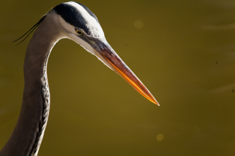 Great Blue Heron Head Close-Up