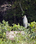 Great Blue Heron in Foliage