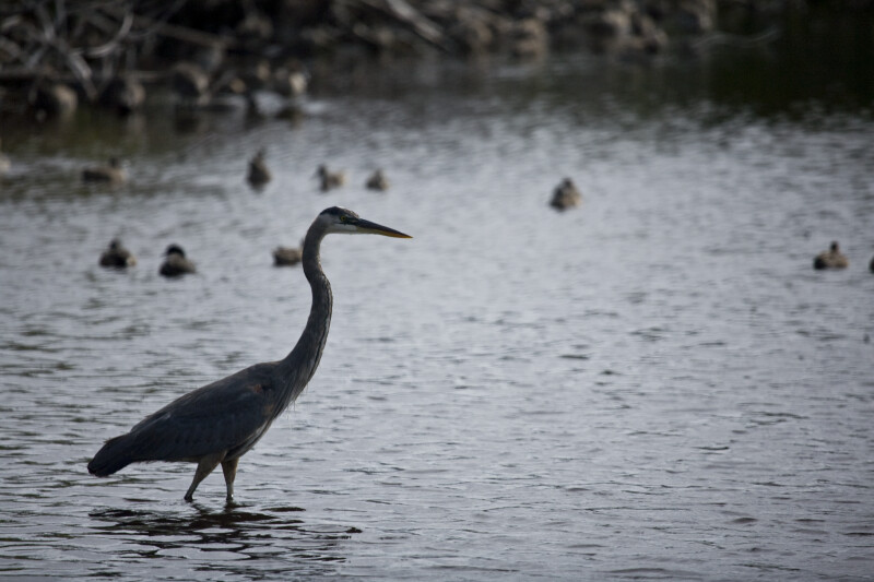 Great Blue Heron in Front of Ducks