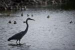 Great Blue Heron in Front of Ducks