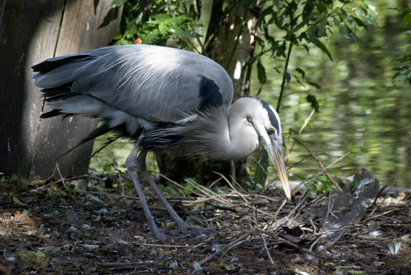 Great Blue Heron in Undergrowth