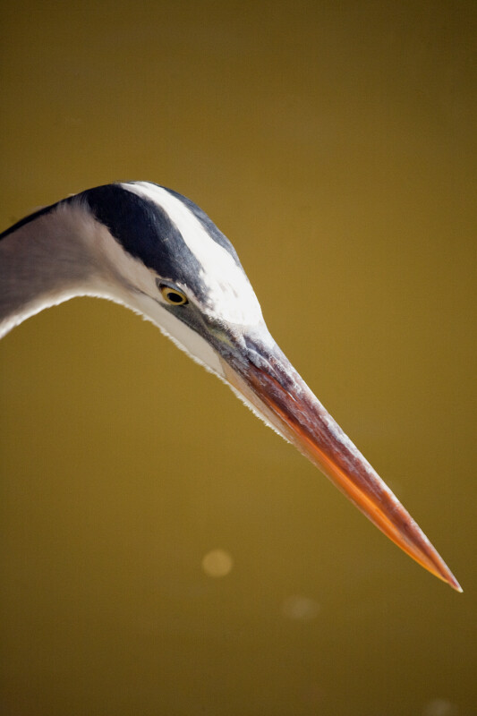 Great Blue Heron Looking at Water