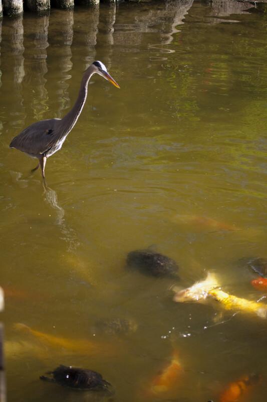 Great Blue Heron, Koi, and Turtles