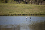 Great Blue Heron Over Pond