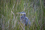 Great Blue Heron Pictured Amongst Grass
