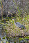 Great Blue Heron Stalking Prey