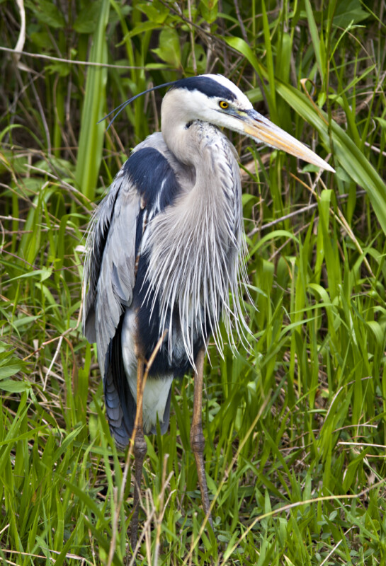 Great Blue Heron Standing in Grass at Shark Valley of Everglades National Park