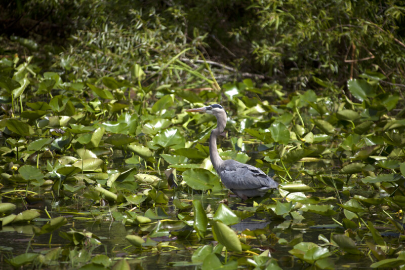 Great Blue Heron Standing in Shallow Water Amongst Aquatic Plants