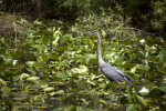Great Blue Heron Standing in Shallow Water Amongst Aquatic Vegetation with its Neck Straightened