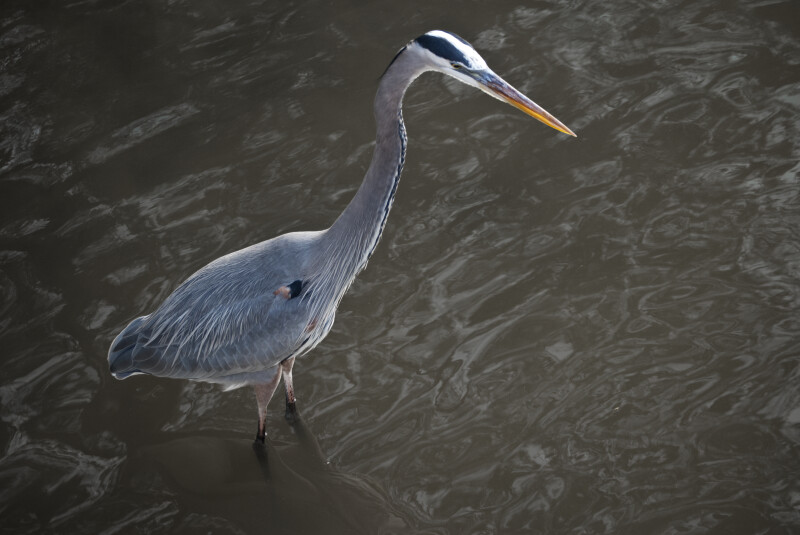 Great Blue Heron Standing in Shallow Water