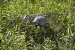 Great Blue Heron Standing in Vegetation